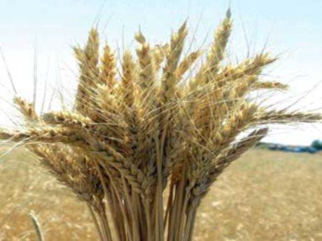 buğday ekim alanları