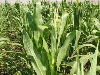 türkiye mısır üretimi 2012